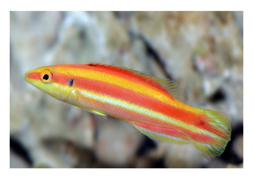 African basslet ! Highly prized Rare African Basslet for sale