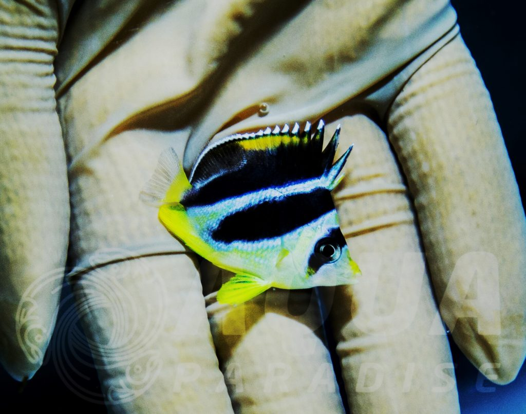 Mitratus Butterflyfish ! Most Demanded fish from butterfly family